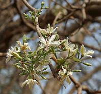 Wrightia tinctoria Dry Extract