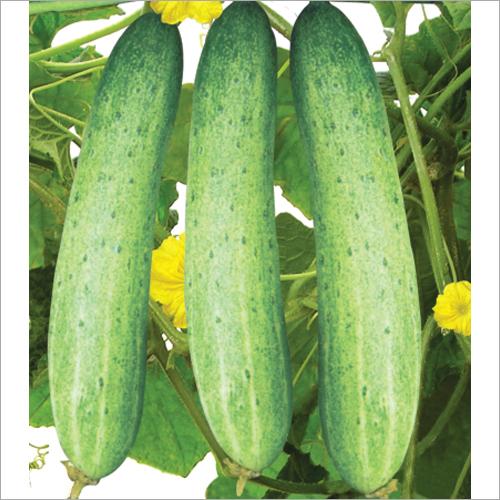 Adbhut F1 Hybrid Cucumber Seeds