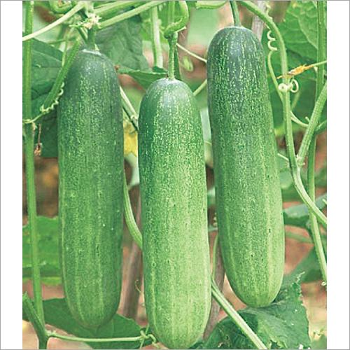 Arpit F1 Hybrid Cucumber Seeds