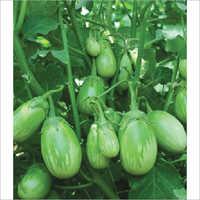 Malav F1 Hybrid Egg Plant Seeds
