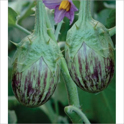 Rajni F1 Hybrid Egg Plant Seeds