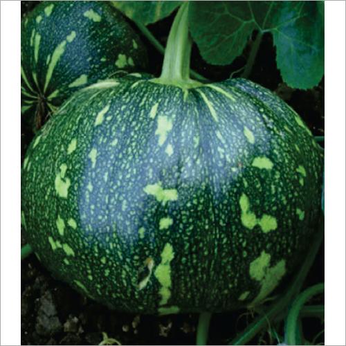 Anokhi F1 Hybrid Pumpkin Seeds