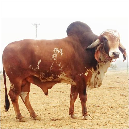 Gir Bull
