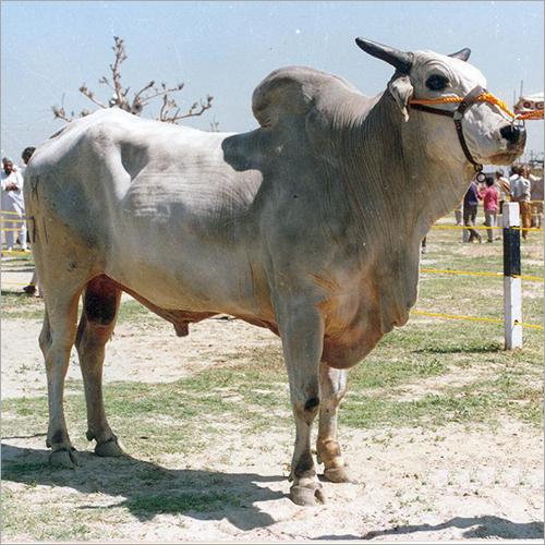 Haryanvi Bull