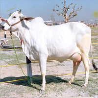 Haryanvi Cow