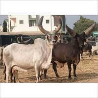 Kangrej Cow Bull