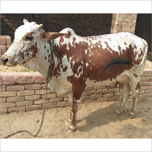 Rathi Breed Cow