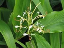 Hedychium spicatum Dry Extract
