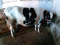 H.F cow
