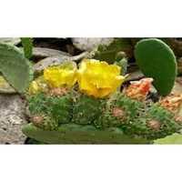Opuntia Extract