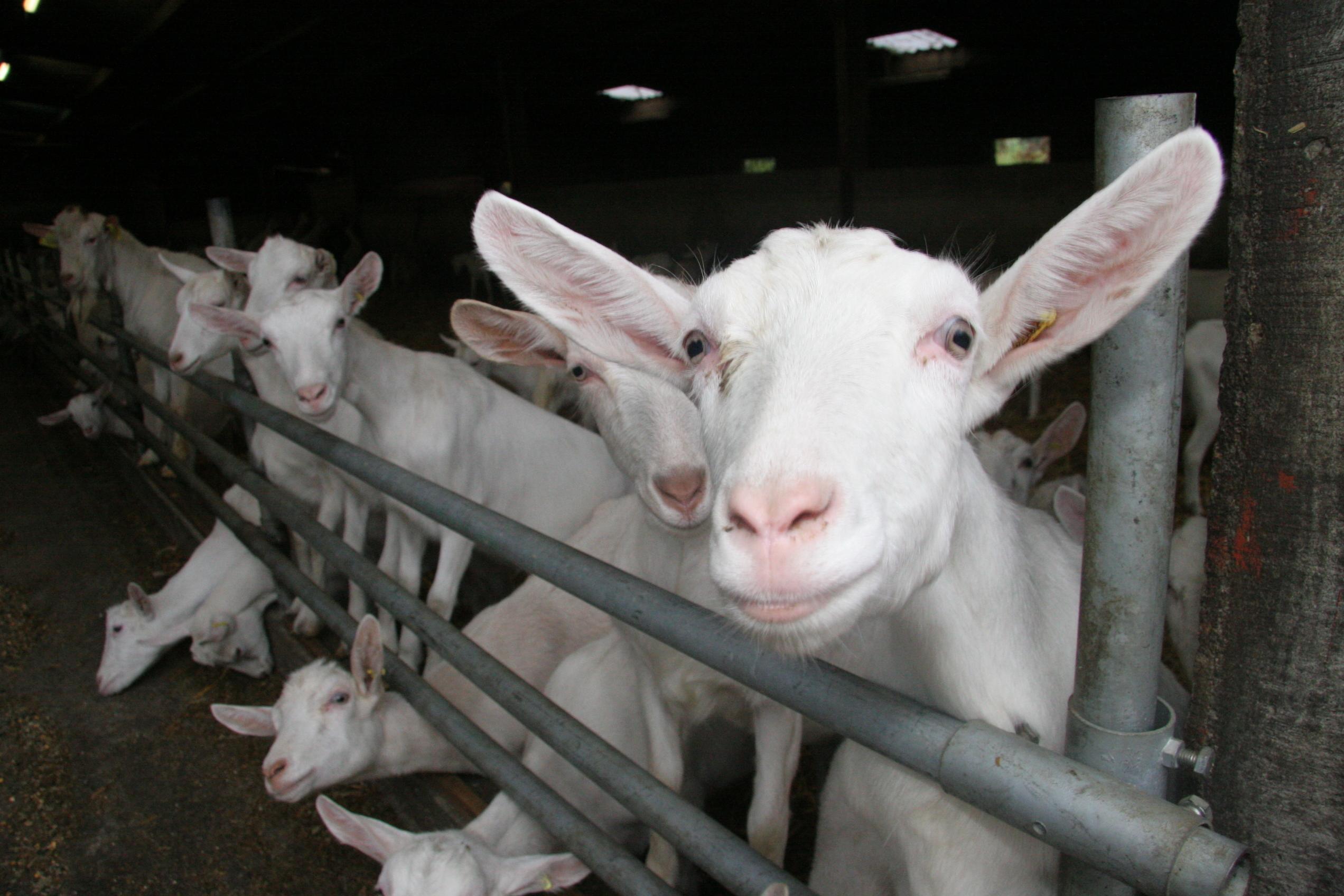 Boar Goats | Saanan Goats |Sheep | camels & milking Cows