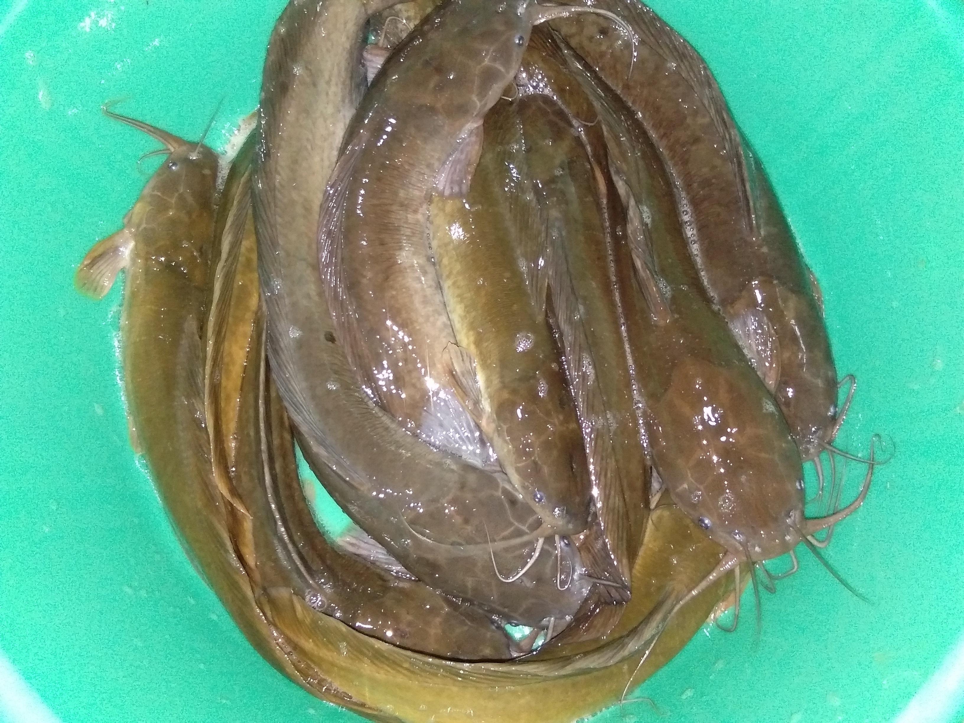 Desi Magur Fish Seed