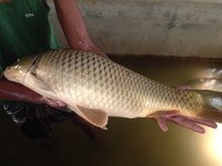 Amur Common Carp Fish Seed