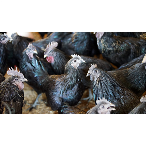 Kadaknath Fresh Chicken