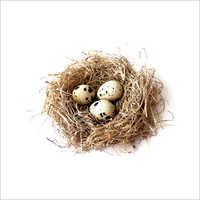 Quail fresh Egg