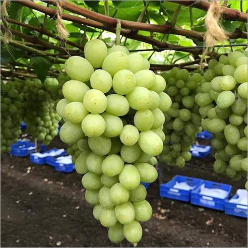 Indian Grapes