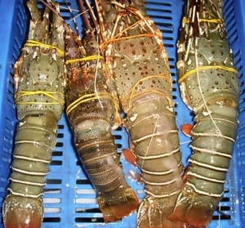 Frozen Lobster