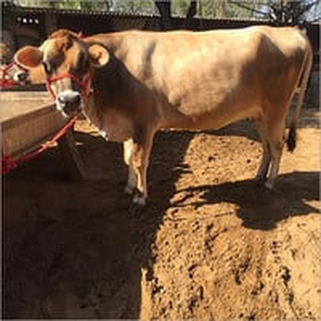 Livestoke Jersey Cow