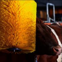 Cow body brush