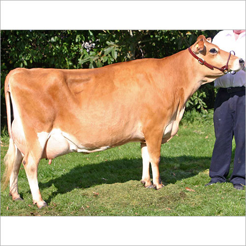 Indian Dairy Farm Jersey Cow