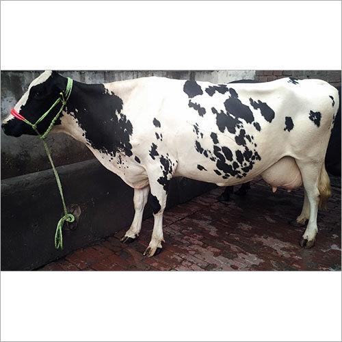 Haryana Dairy Cow