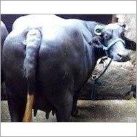 Dairy Nilliravi Buffalo