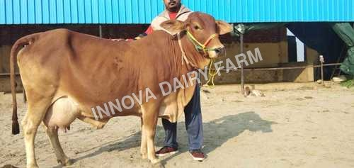 Sahiwal Cow In Karnal, Sahiwal Cow Dealers & Traders In