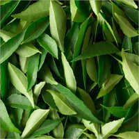 Fresh Green Curry Leaves