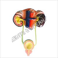 Human Kidney Model With Bladder Model