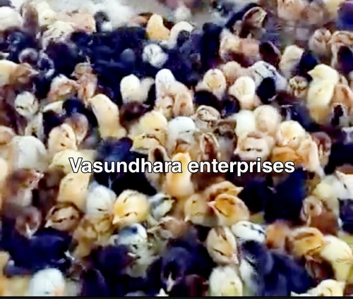 Banraja Chicks