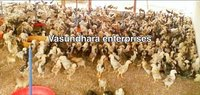 Pure Desi Chicks