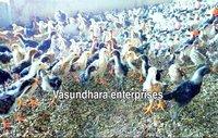 Desi Asil Chicks