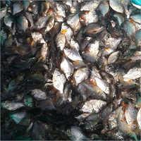 Roopchanda Fish Seed