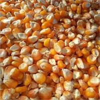 Hybrid Maize Seed
