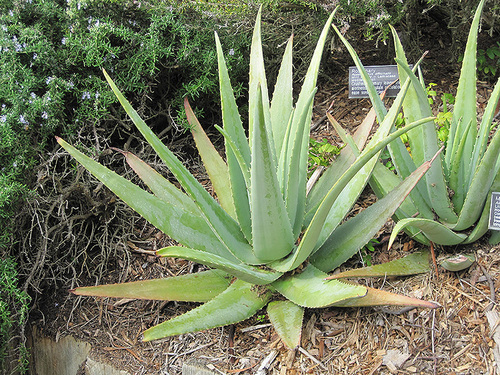aloevera leaves
