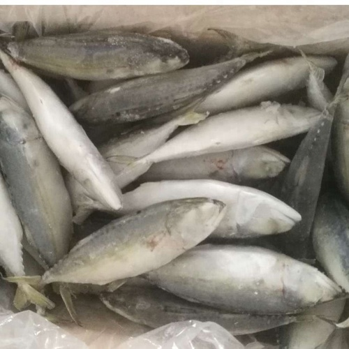 Frozen Pacific Mackerel and Atlantic Mackerel
