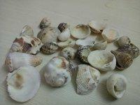Natural seashell
