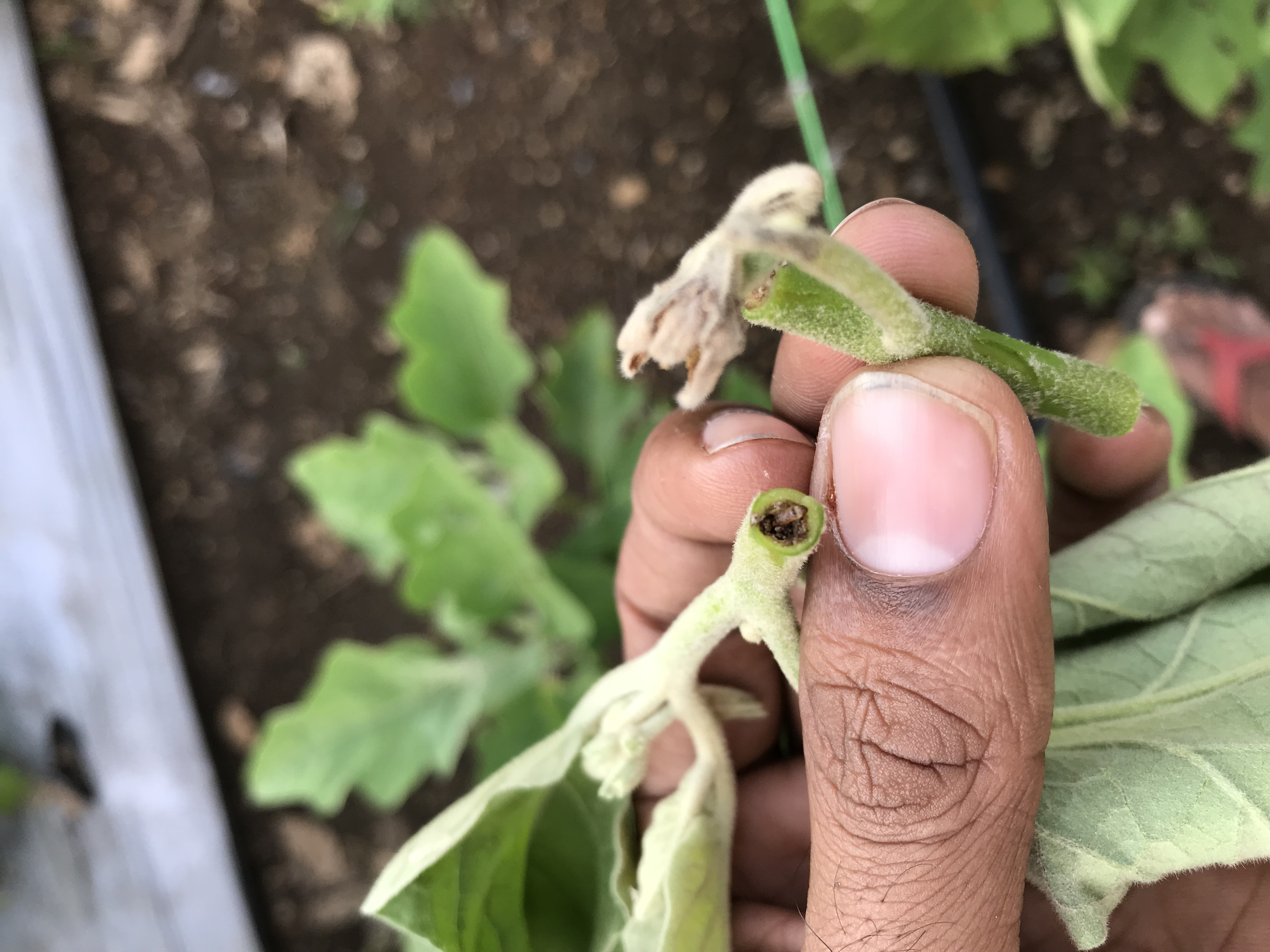 Leucinodes Orbonalis/Egg Plant (Brinjal) Shoot and Fruit Borer