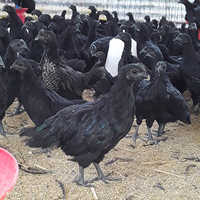 Live Kadaknath Chicken