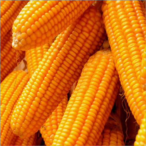 Maize And Seed