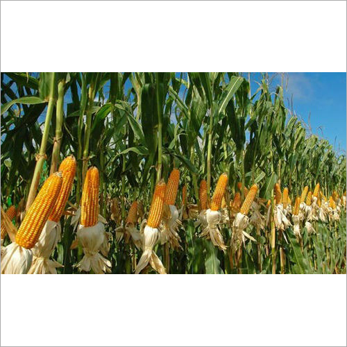 Yellow Indian Maize