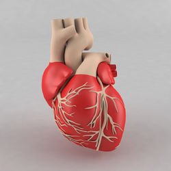 Human Heart Models
