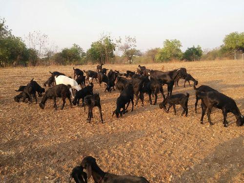 Female Osmanabadi Goats