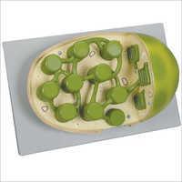 Chloroplast Model