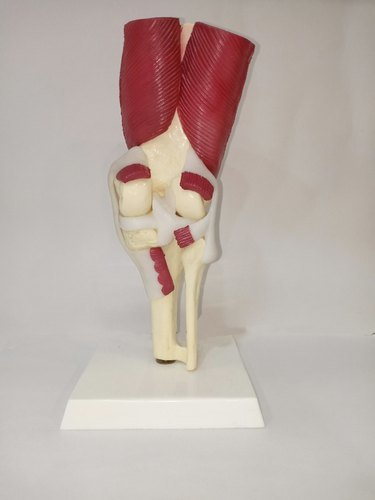 Knee Joint With Muscles