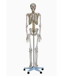 Life Size Skeleton Models