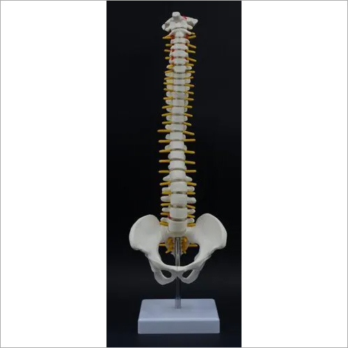 Mini Spinal Column with Hip Joint