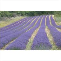 Fresh Lavender Aroma Oil