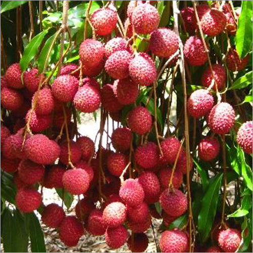 Fresh Litchi Suppliers, Fresh Lychee Fruit Exporters, Wholesalers