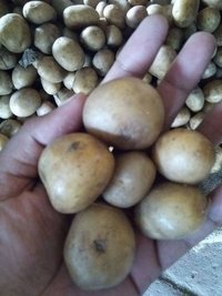 Fresh Potato Seed
